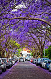 Jacarandas in full bloom. KIRRIBILLI,AUSTRALIA - NOVEMBER 13, 2014: A suburban street is transformed by Jacaranda trees in full bloom