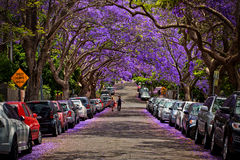 Jacarandas in full bloom Stock Images