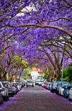 Jacarandas in piena fioritura Immagini Stock Libere da Diritti