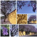 Jacarandas trees Stock Photography