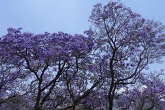 Jacarandas trees Royalty Free Stock Photography
