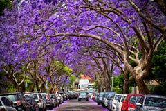 Jacarandas in volledige bloei Royalty-vrije Stock Afbeelding