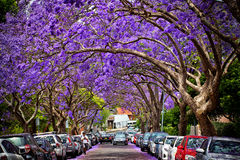 Jacarandas in voller Blüte Lizenzfreies Stockbild