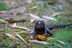 Jacchus die van aapcallithrix mango eten bij de Botanische Tuin in Rio de Janeiro Brazil stock foto