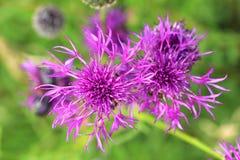 Jacea Centaurea λιβαδιών cornflower Στοκ εικόνες με δικαίωμα ελεύθερης χρήσης