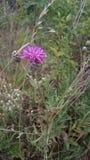 Jacea del Centaurea foto de archivo libre de regalías