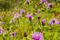 Jacea della centaurea (centaurea di Brown, centaurea di Brownray) Fotografie Stock