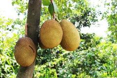 Jacfruit Royalty Free Stock Photos
