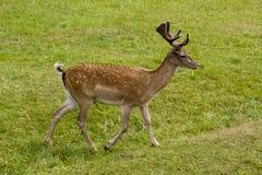 Jachère-cerfs communs Images stock