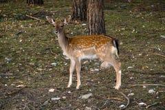 Jachère-cerfs communs dans la forêt Photo stock