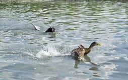 Jachthond die een eend achtervolgen die in water zwemmen Stock Fotografie