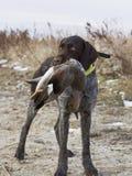 Jachthond met een Eend stock foto's