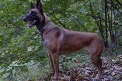 Jachthond van het Duitse herderras royalty-vrije stock foto
