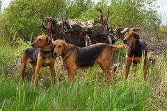Jachthonden Royalty-vrije Stock Afbeeldingen