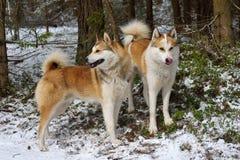 Jachthonden Royalty-vrije Stock Foto