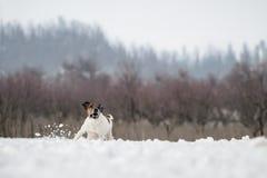 Jachthondfox-terrier, die in de sneeuw in de wildernis lopen Royalty-vrije Stock Afbeelding