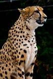 Jachtluipaard Royalty-vrije Stock Foto's