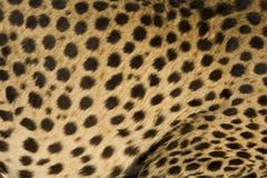 Jachtluipaard Stock Foto's