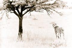 Jachtluipaard Stock Afbeelding