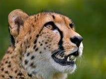 Jachtluipaard Royalty-vrije Stock Afbeelding