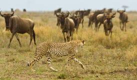Jachtluipaard Royalty-vrije Stock Afbeeldingen