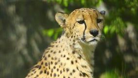 Jachtluipaard stock videobeelden