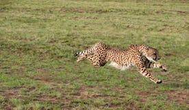 Jachtluipaard Royalty-vrije Stock Foto