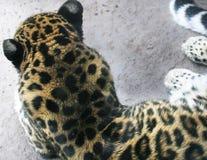 Jachtluipaard achter tonende bont en oren royalty-vrije stock foto's