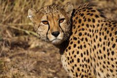 Jachtluipaard, Acinonyx-jubatus bij een spelaandrijving in Namibi? Afrika stock afbeeldingen