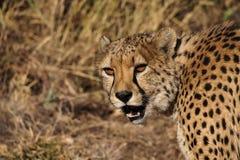 Jachtluipaard, Acinonyx-jubatus bij een spelaandrijving in Namibi? Afrika royalty-vrije stock afbeelding