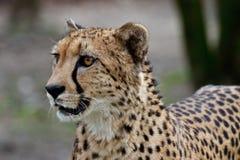 Jachtluipaard, Acinonyx-jubatus, mooi zoogdierdier in de dierentuin stock fotografie