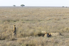 Jachtluipaard (Acinonyx-jubatus) op savanne stock foto's
