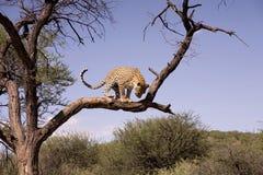 Jachtluipaard in Afrika Stock Fotografie