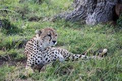 Jachtluipaard in Afrika Stock Foto