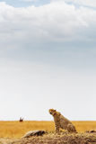 Jachtluipaard in Afrika - Verticaal met Exemplaarruimte stock fotografie