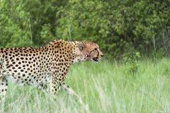 Jachtluipaard in beweging royalty-vrije stock foto's