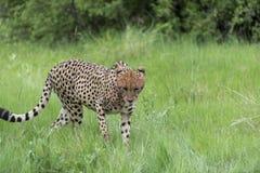Jachtluipaard in beweging royalty-vrije stock afbeeldingen