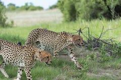 Jachtluipaard in beweging stock afbeeldingen