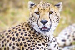 Jachtluipaard bij de grote vlaktes van Serengeti Stock Fotografie