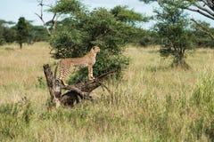 Jachtluipaard bij het nationale park die van Serengeti naar voedsel, Tanzania, Afrika zoeken Royalty-vrije Stock Afbeeldingen