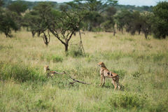 Jachtluipaard bij het nationale park die van Serengeti naar voedsel, Tanzania, Afrika zoeken Stock Fotografie