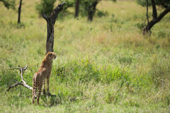 Jachtluipaard bij het nationale park die van Serengeti naar voedsel, Tanzania, Afrika zoeken Stock Foto's