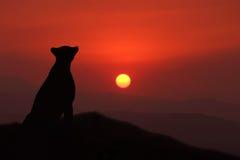 Jachtluipaard bij zonsondergang Stock Afbeelding