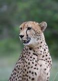 Jachtluipaard in Botswana Stock Afbeelding