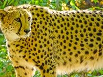 Jachtluipaard in de dierentuin van Moskou Royalty-vrije Stock Foto's