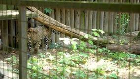 Jachtluipaard in de dierentuinkooi stock video