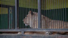 Jachtluipaard in de kooi in dierentuin stock videobeelden