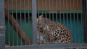 Jachtluipaard in de kooi in dierentuin stock video