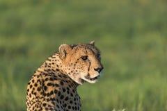 Jachtluipaard in de middagzon royalty-vrije stock fotografie