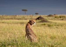 Jachtluipaard in de ochtendzon in Masai Mara Stock Foto's